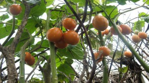 frukt-0002